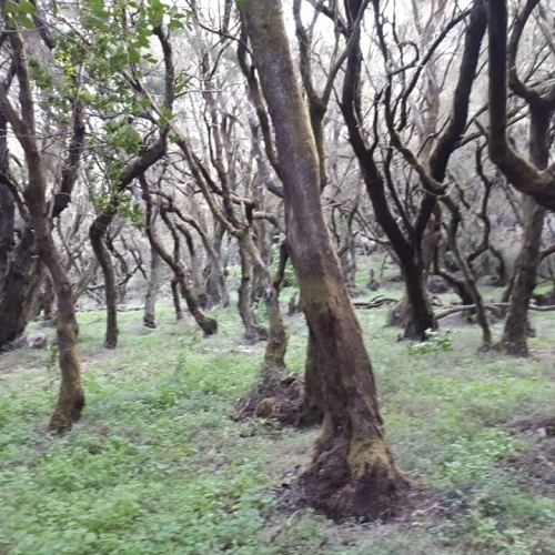 In the Garajonay Forest- La Gomera