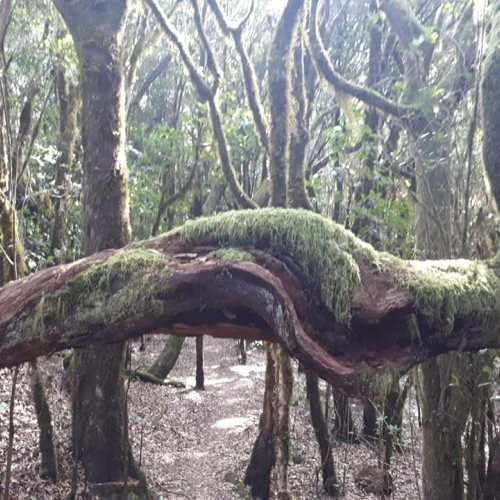 Twisted trees - Garajonay La Gomera